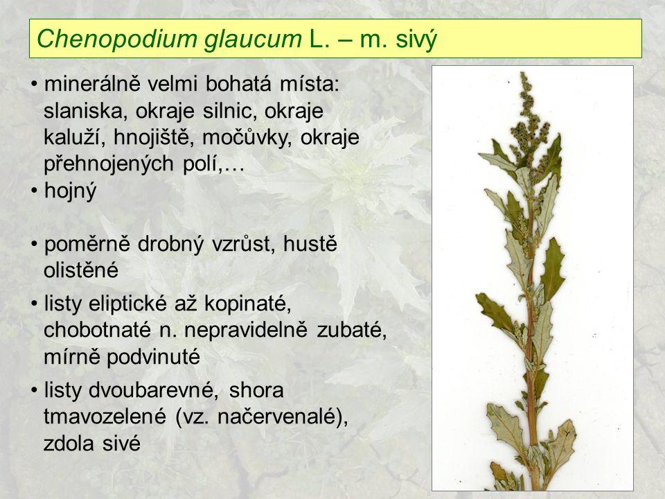 Chenopodium glaucum L. – m. sivý