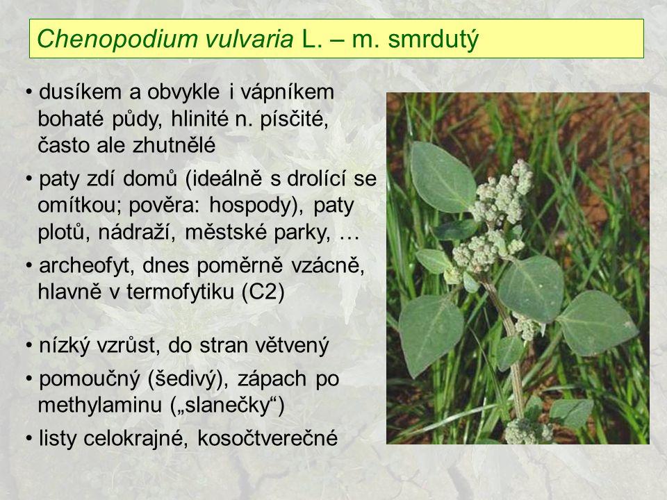 Chenopodium vulvaria L. – m. smrdutý
