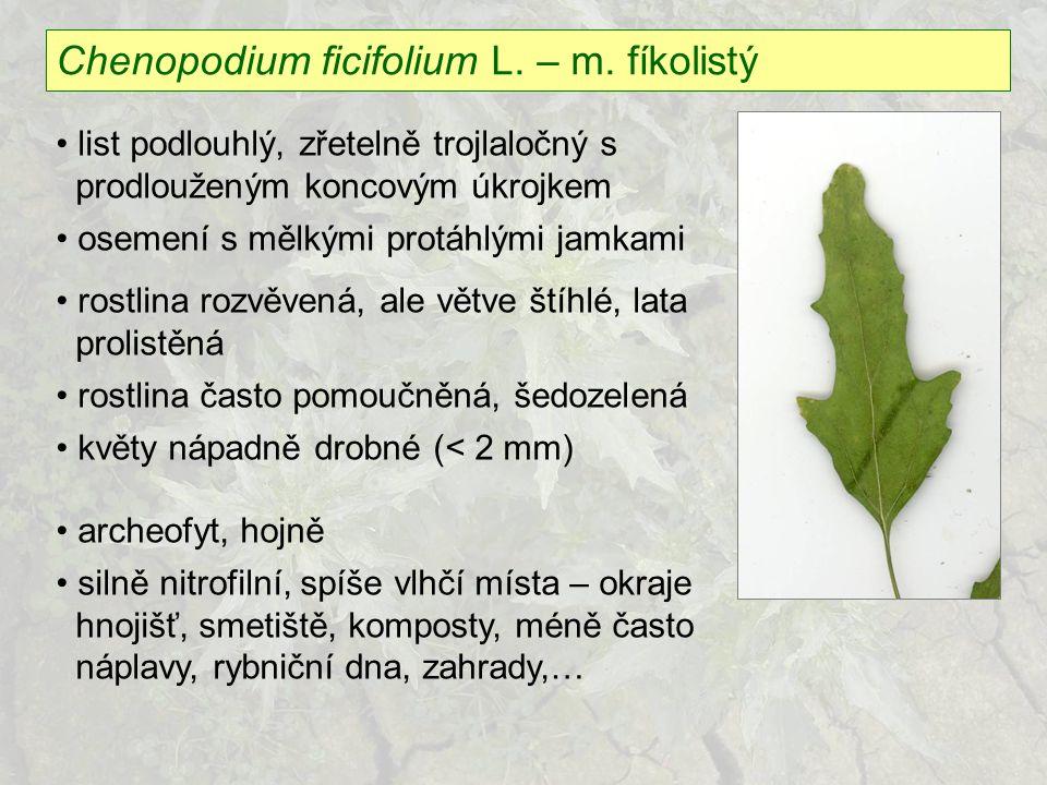Chenopodium ficifolium L. – m. fíkolistý