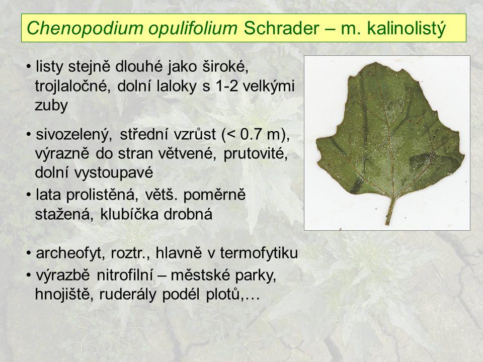 Chenopodium opulifolium Schrader – m. kalinolistý