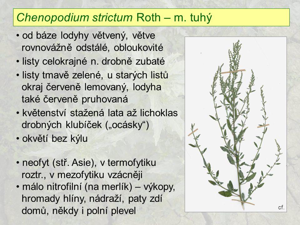 Chenopodium strictum Roth – m. tuhý