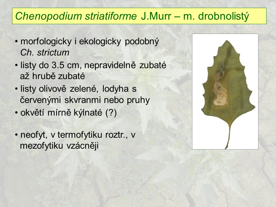 Chenopodium striatiforme J.Murr – m. drobnolistý