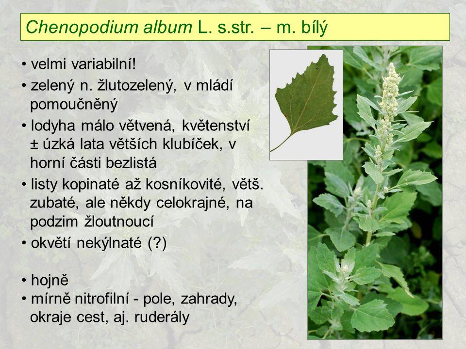 Chenopodium album L. s.str. – m. bílý