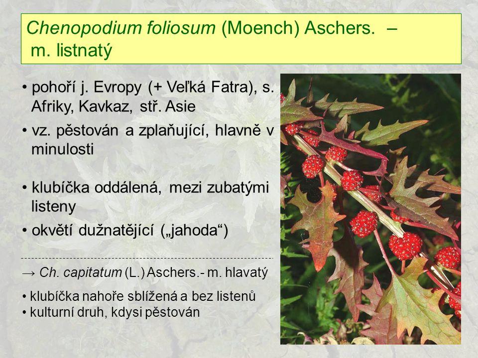 Chenopodium foliosum (Moench) Aschers. – m. listnatý