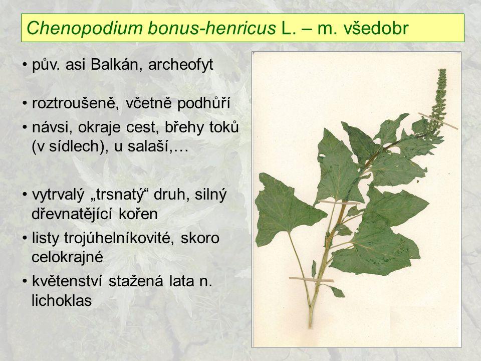 Chenopodium bonus-henricus L. – m. všedobr