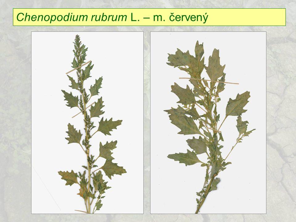 Chenopodium rubrum L. – m. červený