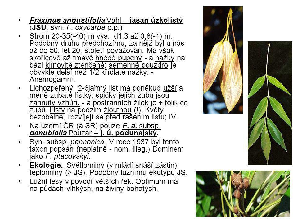 Fraxinus angustifolia Vahl – jasan úzkolistý (JSU; syn. F. oxycarpa p