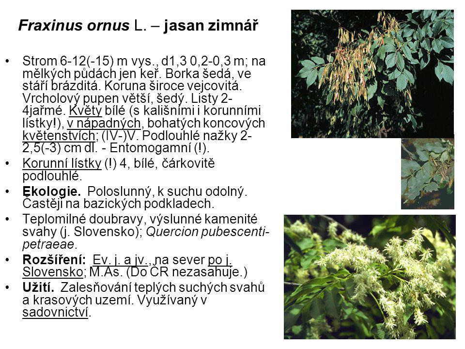 Fraxinus ornus L. – jasan zimnář