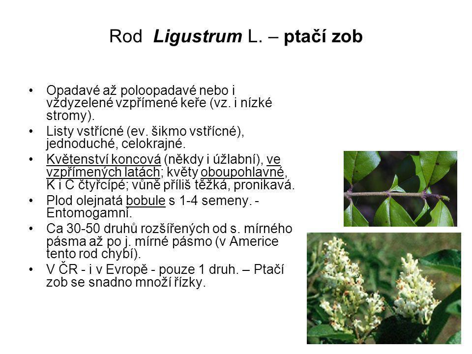 Rod Ligustrum L. – ptačí zob