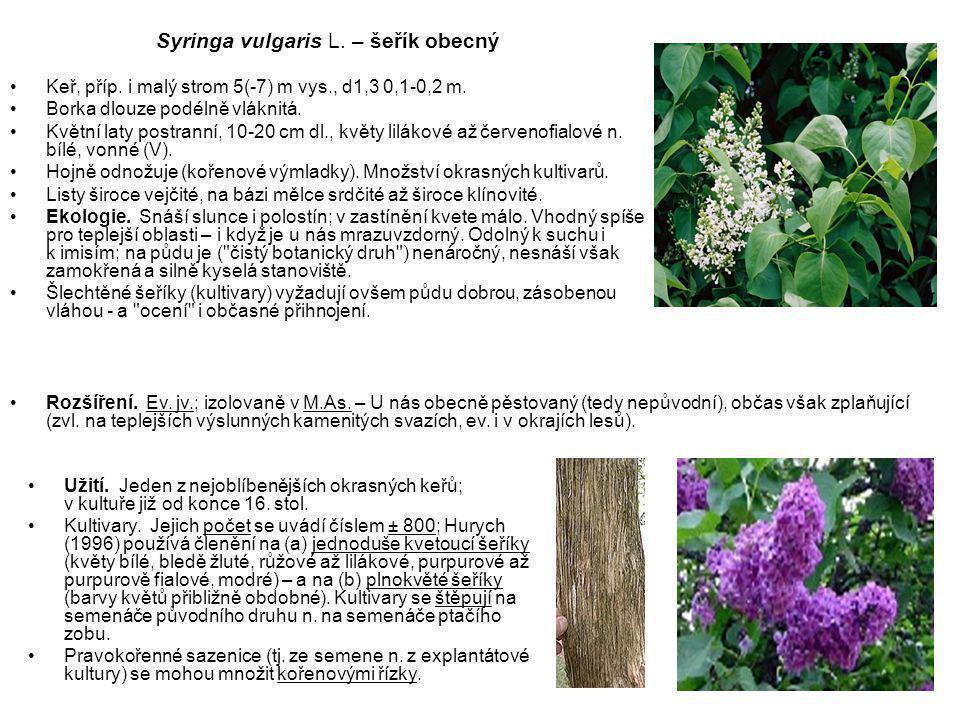 Syringa vulgaris L. – šeřík obecný
