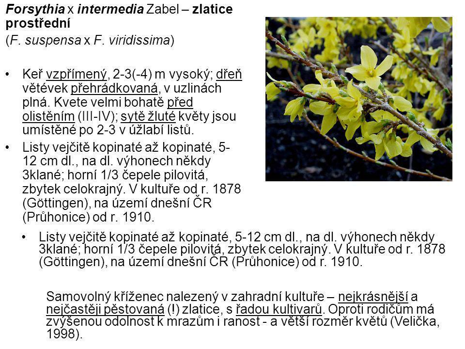 Forsythia x intermedia Zabel – zlatice prostřední