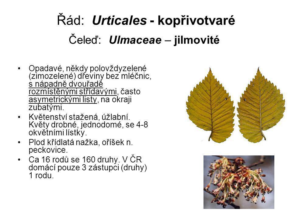 Řád: Urticales - kopřivotvaré