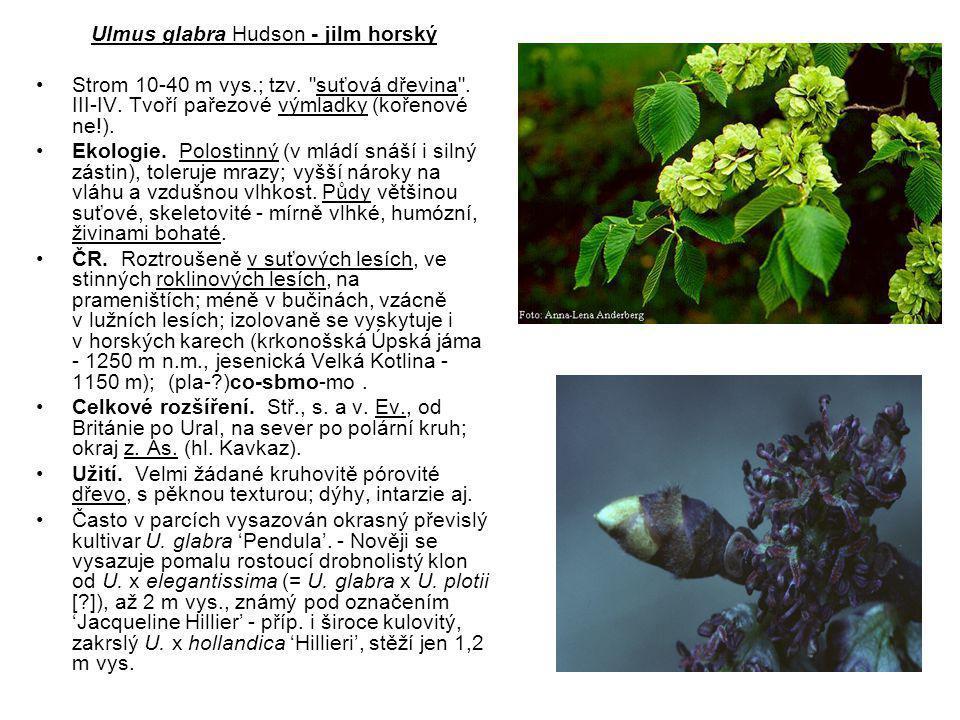 Ulmus glabra Hudson - jilm horský