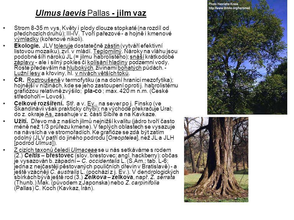Ulmus laevis Pallas - jilm vaz