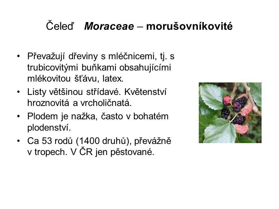 Čeleď Moraceae – morušovníkovité