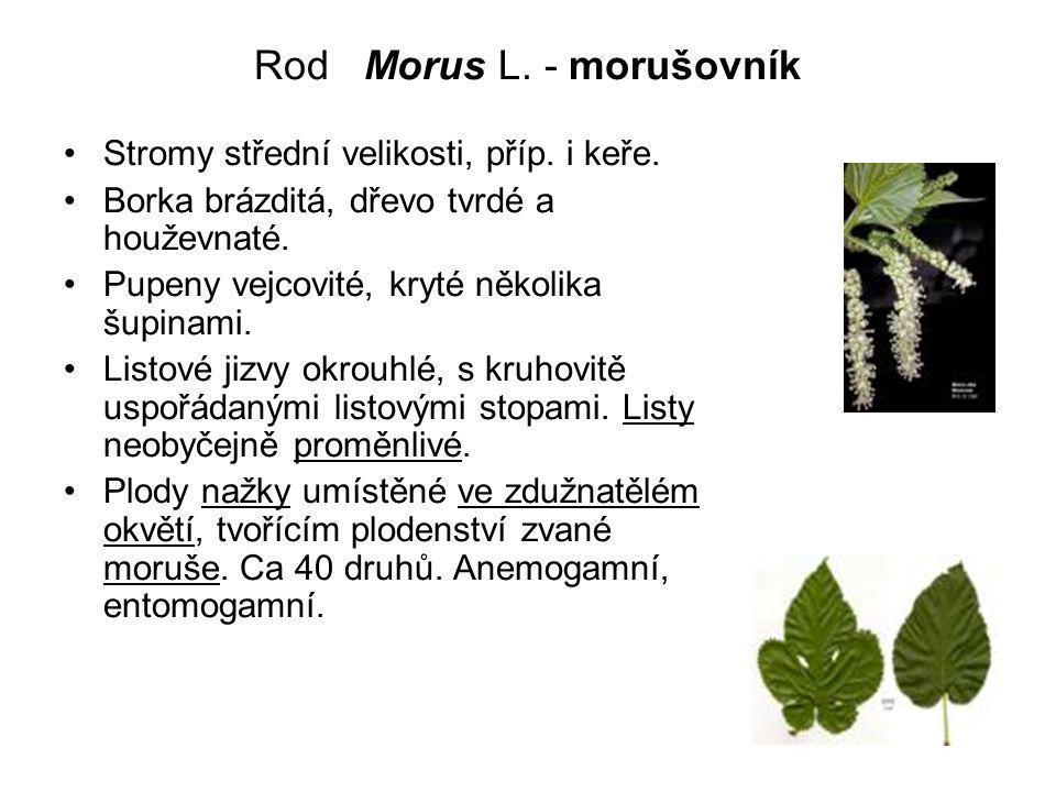 Rod Morus L. - morušovník