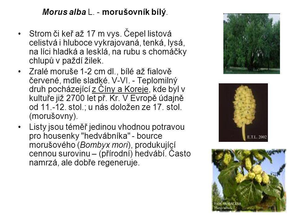 Morus alba L. - morušovník bílý.