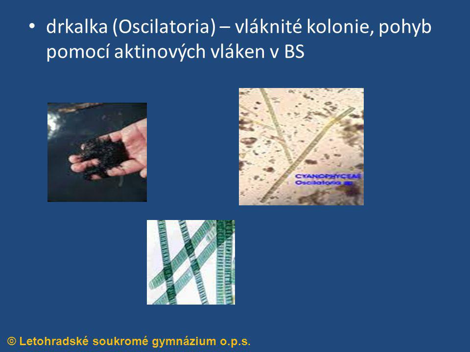 drkalka (Oscilatoria) – vláknité kolonie, pohyb pomocí aktinových vláken v BS