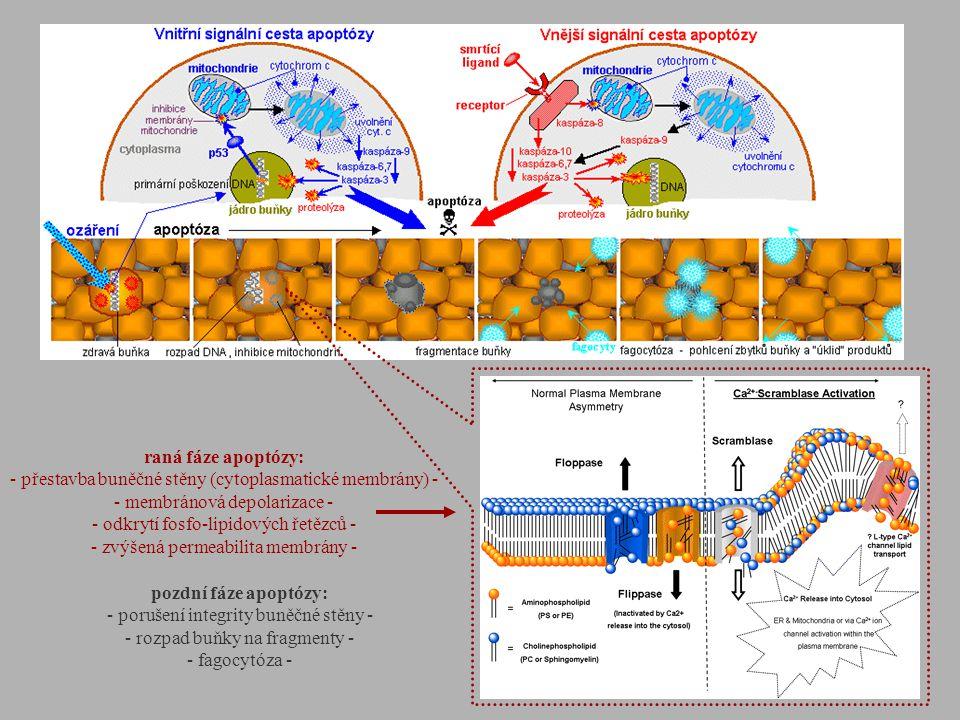 - přestavba buněčné stěny (cytoplasmatické membrány) -