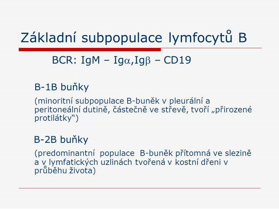 Základní subpopulace lymfocytů B