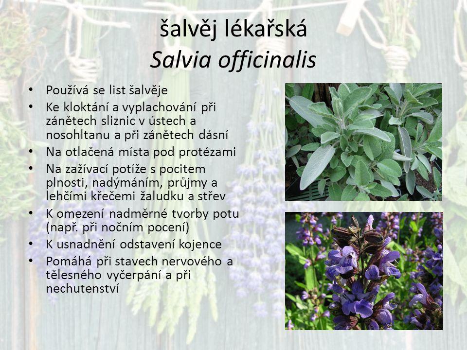 šalvěj lékařská Salvia officinalis