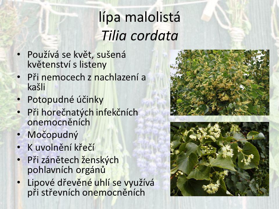 lípa malolistá Tilia cordata