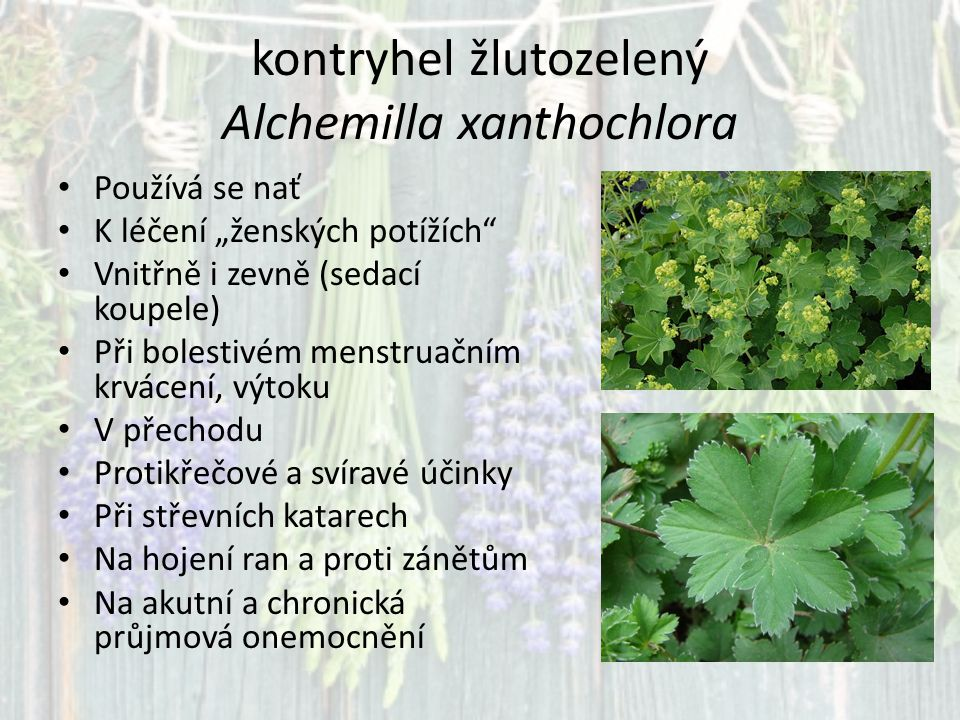 kontryhel žlutozelený Alchemilla xanthochlora