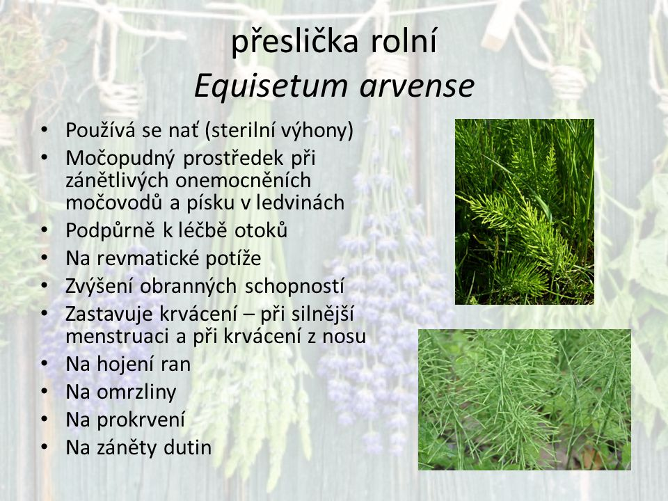 přeslička rolní Equisetum arvense