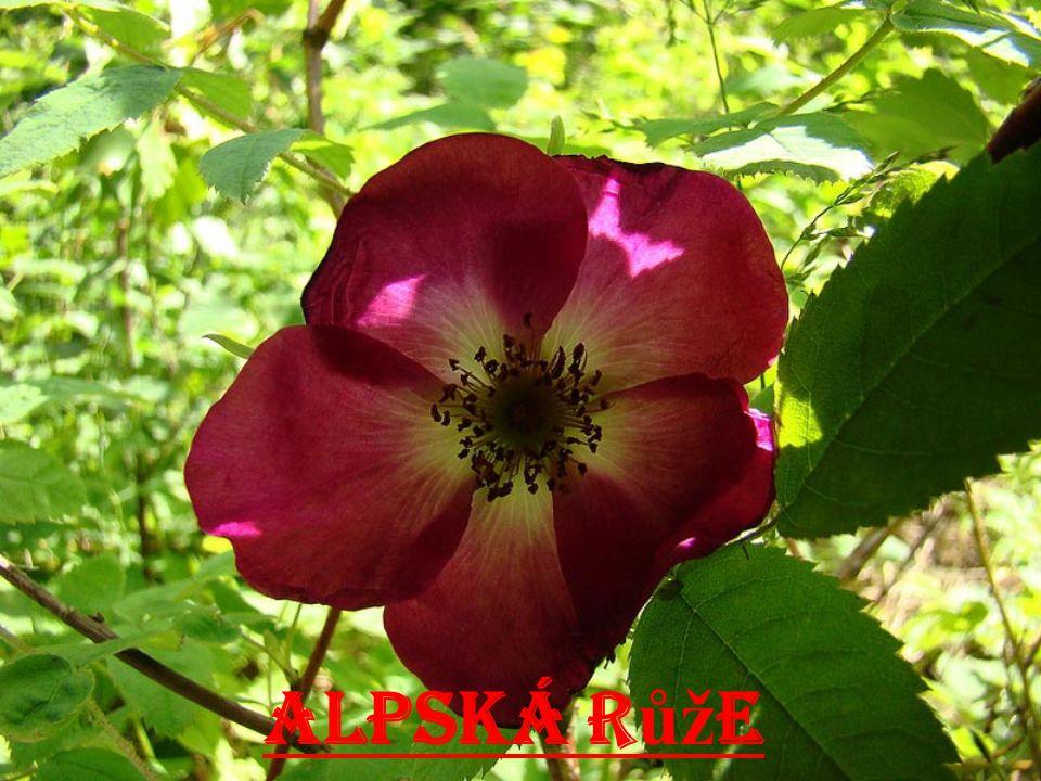 Alpská růže