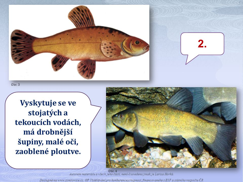 Obr. 3 2. Obr. 4. Vyskytuje se ve stojatých a tekoucích vodách, má drobnější šupiny, malé oči, zaoblené ploutve.