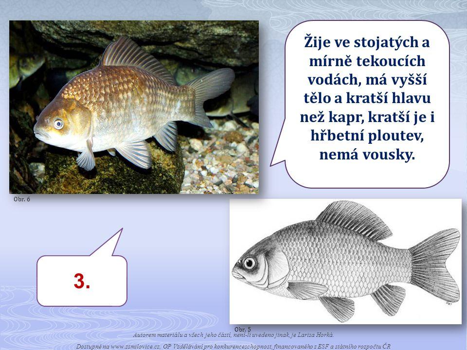 Obr. 6 Žije ve stojatých a mírně tekoucích vodách, má vyšší tělo a kratší hlavu než kapr, kratší je i hřbetní ploutev, nemá vousky.