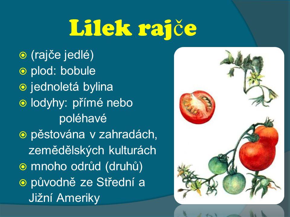 Lilek rajče (rajče jedlé) plod: bobule jednoletá bylina