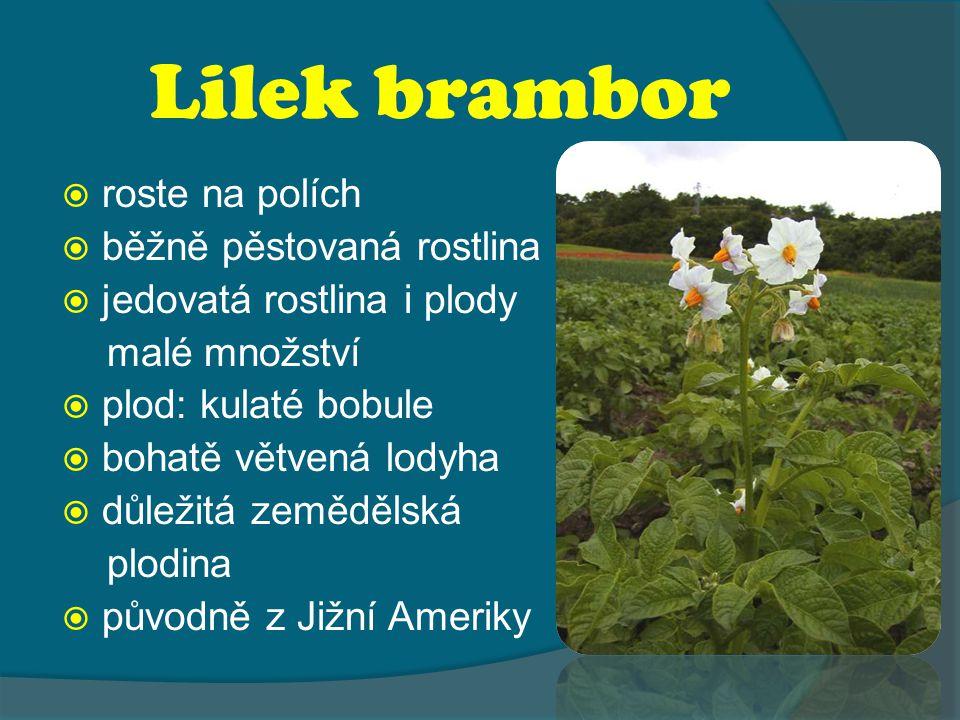 Lilek brambor roste na polích běžně pěstovaná rostlina