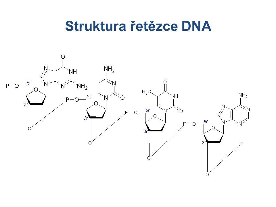 Struktura řetězce DNA Struktura řetězce 5´- 3´