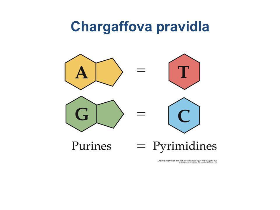 Chargaffova pravidla Množství A se rovná množství T.