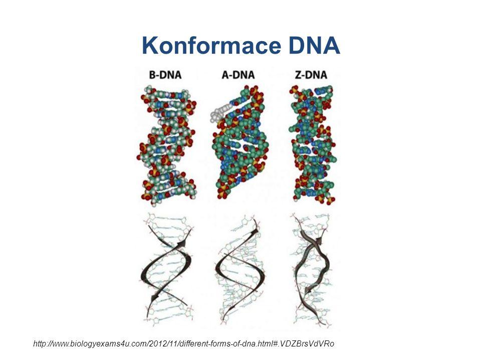 Konformace DNA Různé typy konformace DNA. Nativní je B-DNA (watson-crickovská).