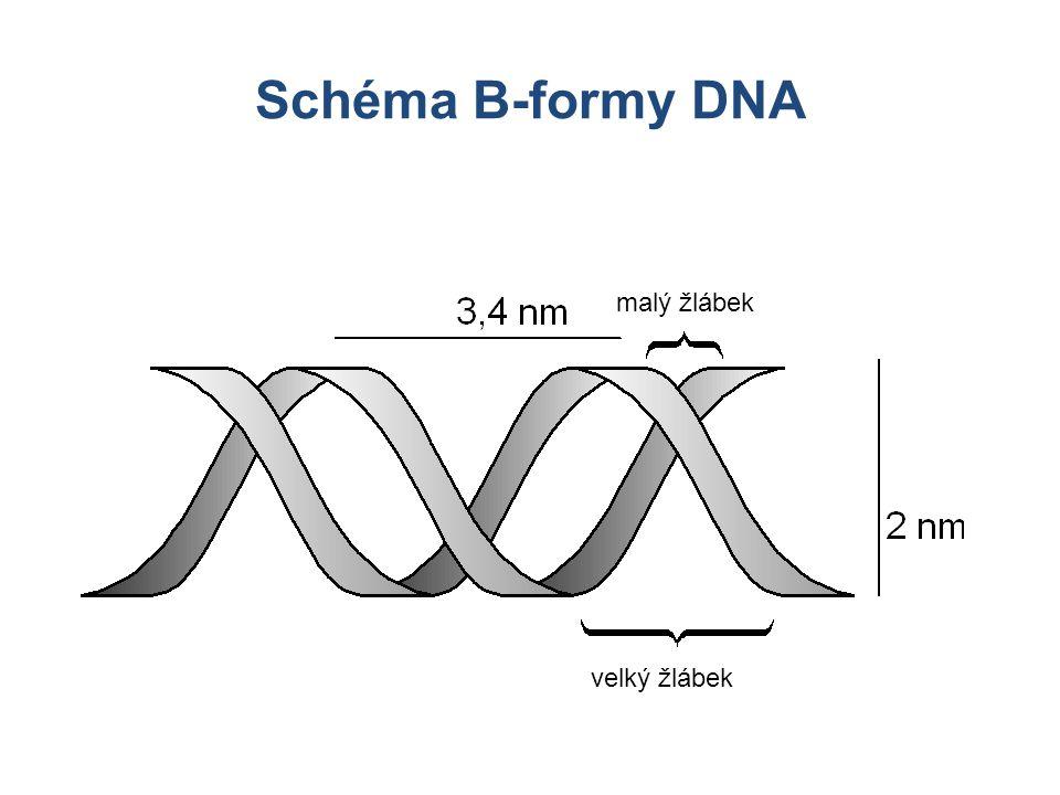 Schéma B-formy DNA malý žlábek Morfologie DNA velký žlábek