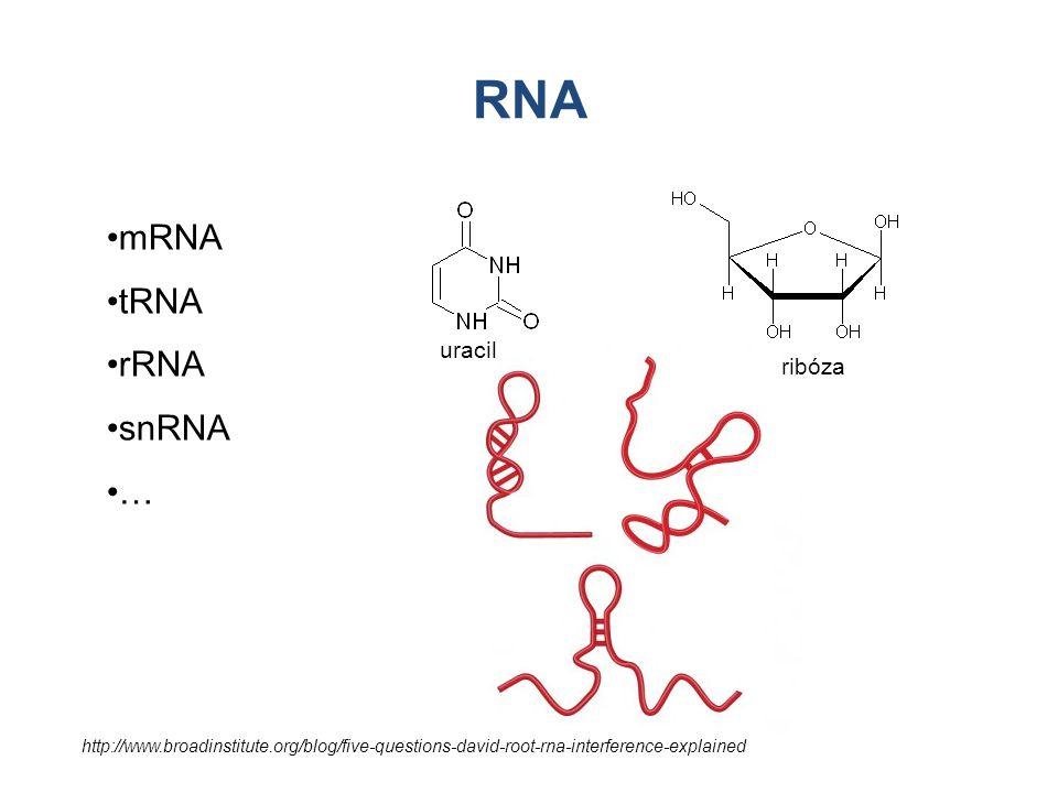 RNA mRNA tRNA rRNA snRNA … uracil ribóza