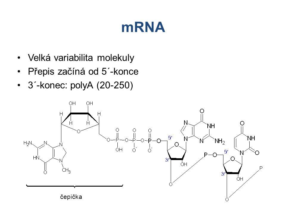 mRNA Velká variabilita molekuly Přepis začíná od 5´-konce