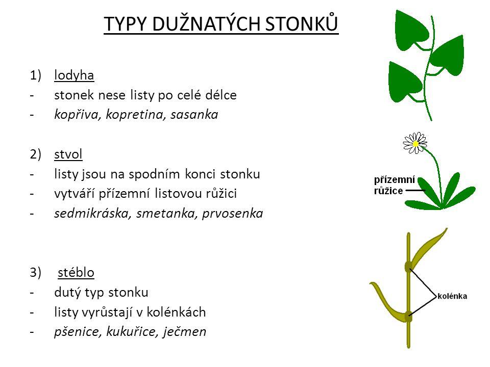 TYPY DUŽNATÝCH STONKŮ lodyha stonek nese listy po celé délce