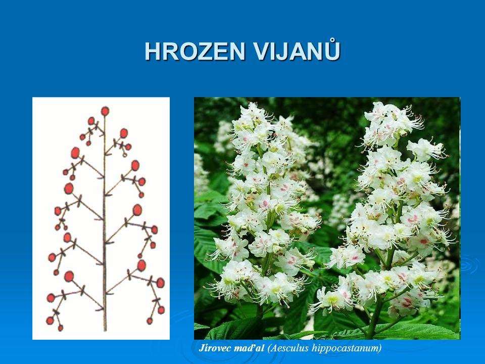 HROZEN VIJANŮ Jírovec maďal (Aesculus hippocastanum)