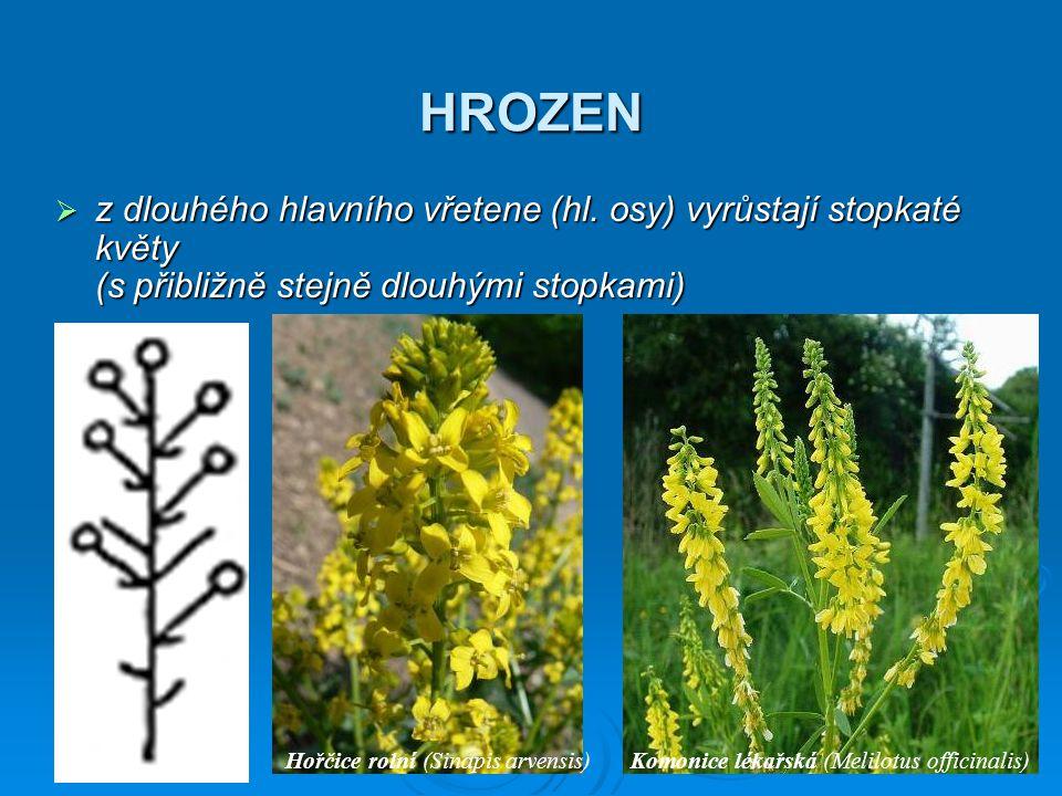 HROZEN z dlouhého hlavního vřetene (hl. osy) vyrůstají stopkaté květy (s přibližně stejně dlouhými stopkami)