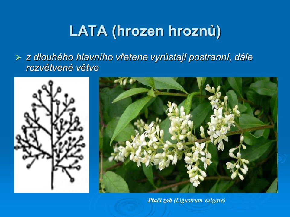 LATA (hrozen hroznů) z dlouhého hlavního vřetene vyrůstají postranní, dále rozvětvené větve.