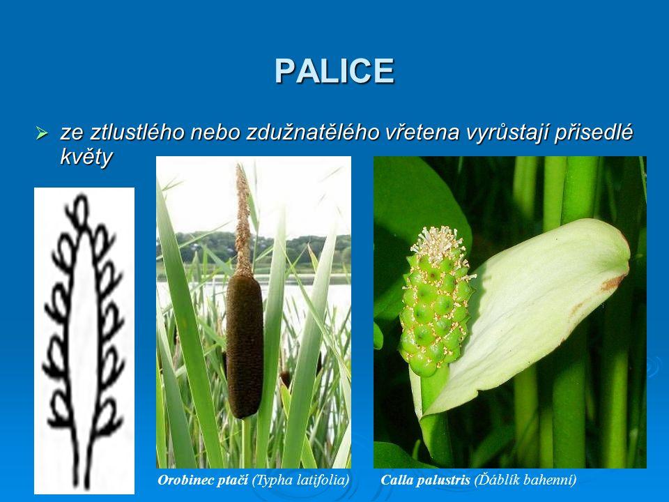 PALICE ze ztlustlého nebo zdužnatělého vřetena vyrůstají přisedlé květy. Orobinec ptačí (Typha latifolia)