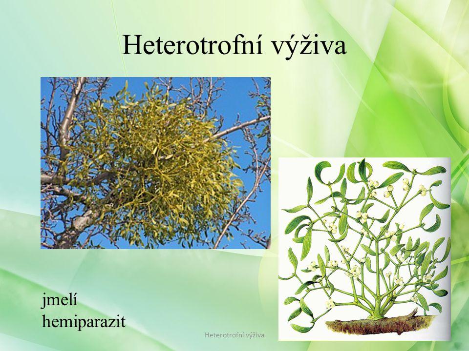 Heterotrofní výživa jmelí hemiparazit Heterotrofní výživa