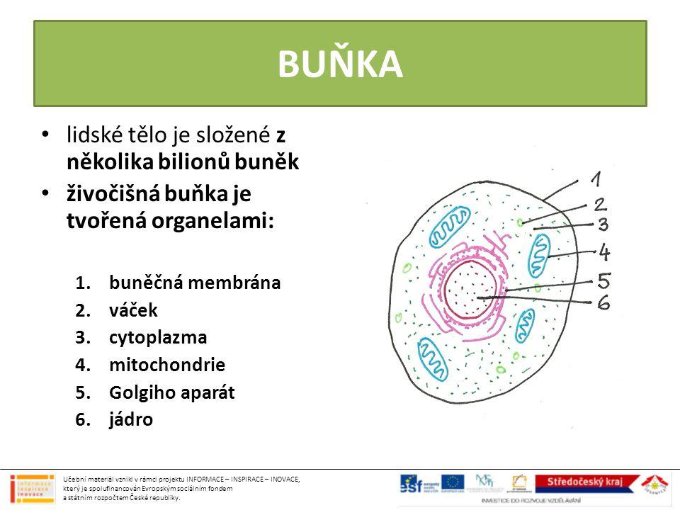 BUŇKA lidské tělo je složené z několika bilionů buněk