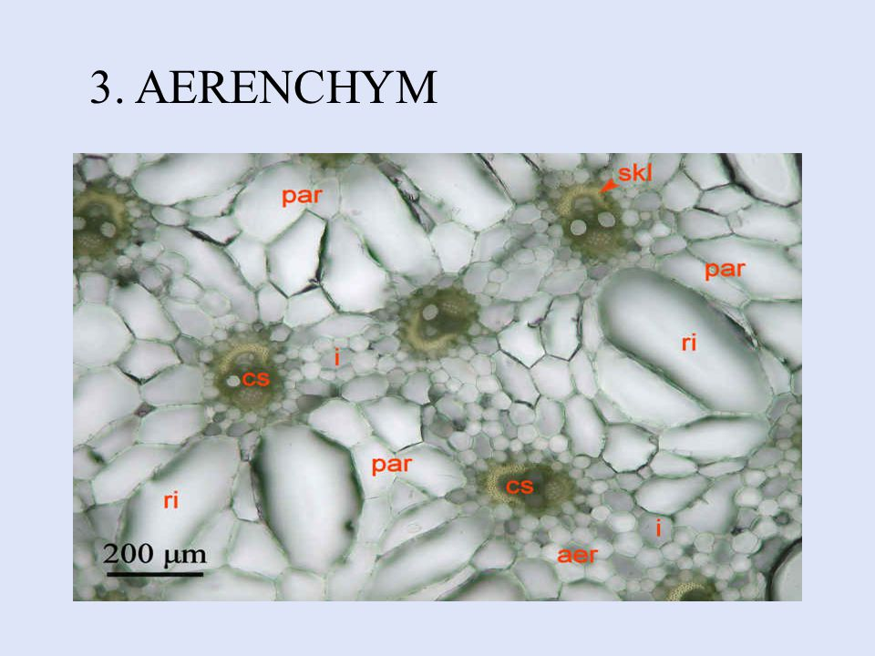 3. AERENCHYM