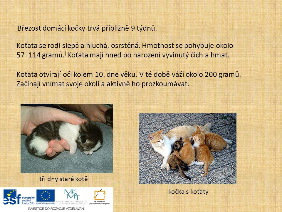 Březost domácí kočky trvá přibližně 9 týdnů.