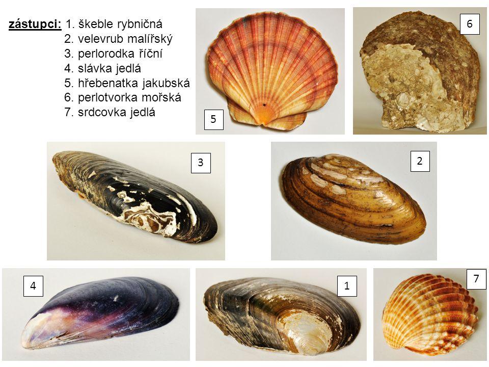 zástupci: 1. škeble rybničná 2. velevrub malířský 3. perlorodka říční 4. slávka jedlá 5. hřebenatka jakubská 6. perlotvorka mořská 7. srdcovka jedlá
