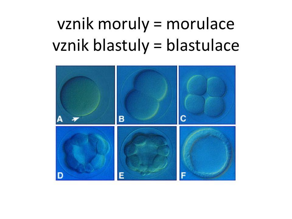 vznik moruly = morulace vznik blastuly = blastulace